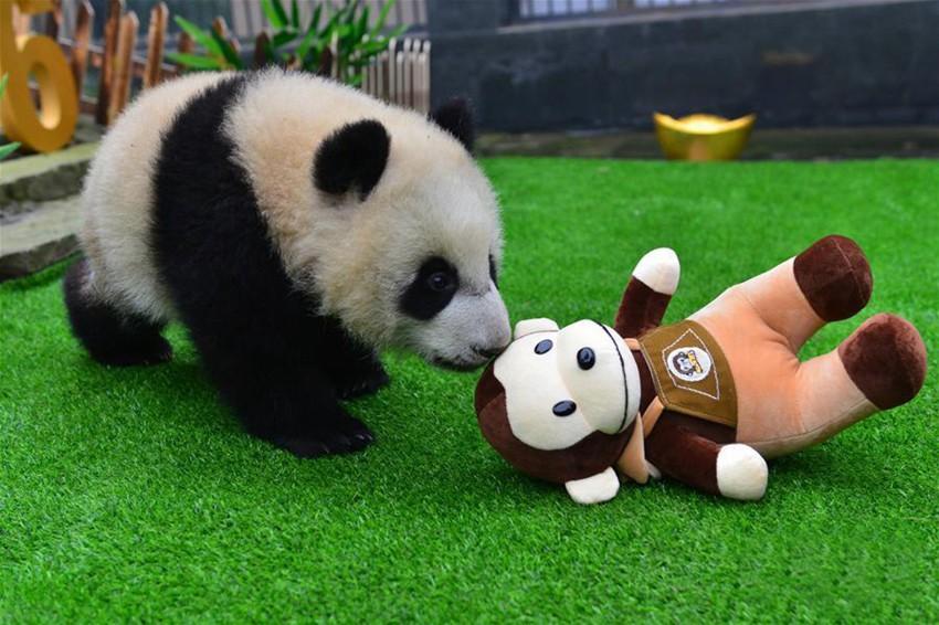 人形と遊ぶ赤ちゃんパンダ