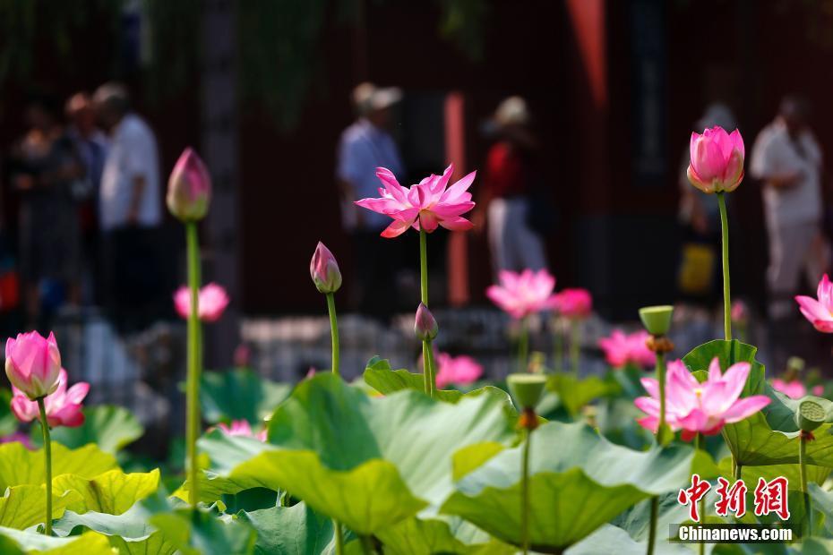 北海公園のハスの花満開へ 北京...